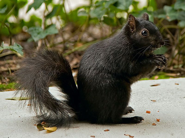 Black Squirrel image